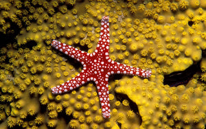 Red Nobbed Starfish for Sale