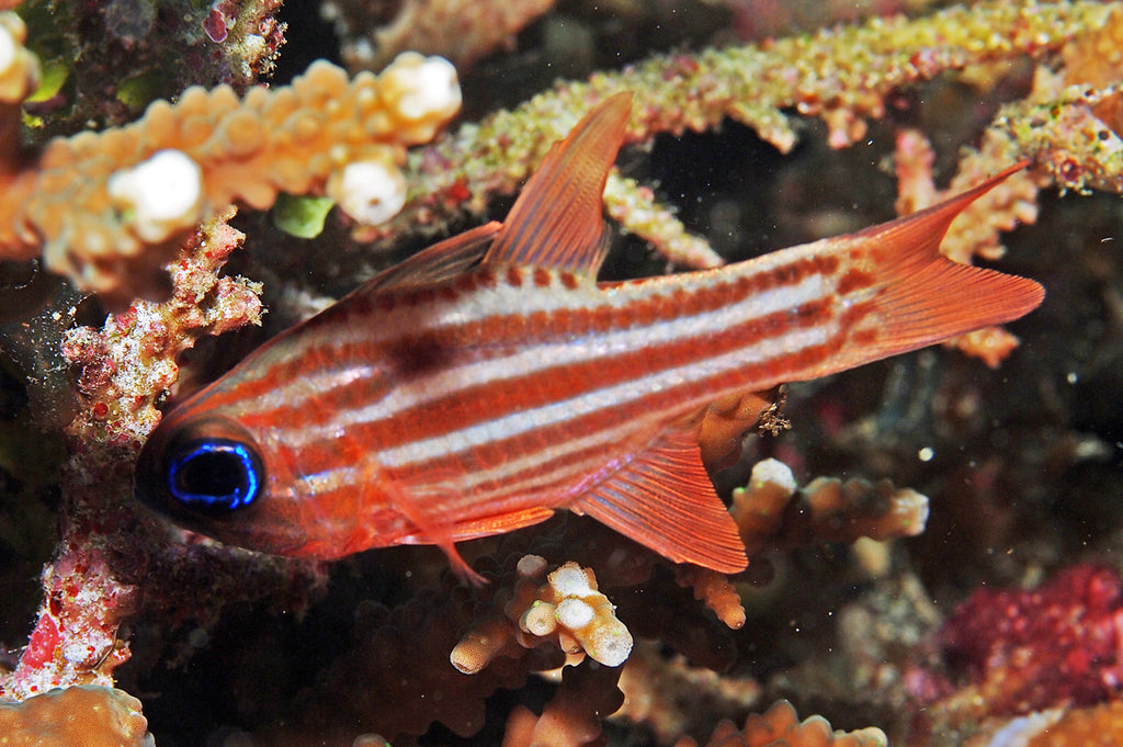 Striped Cardinal Fish for Sale