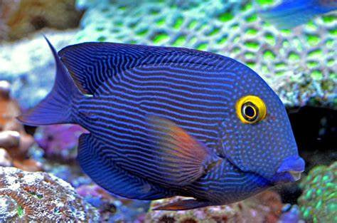 Yellow Eyed Kole Tang for Sale