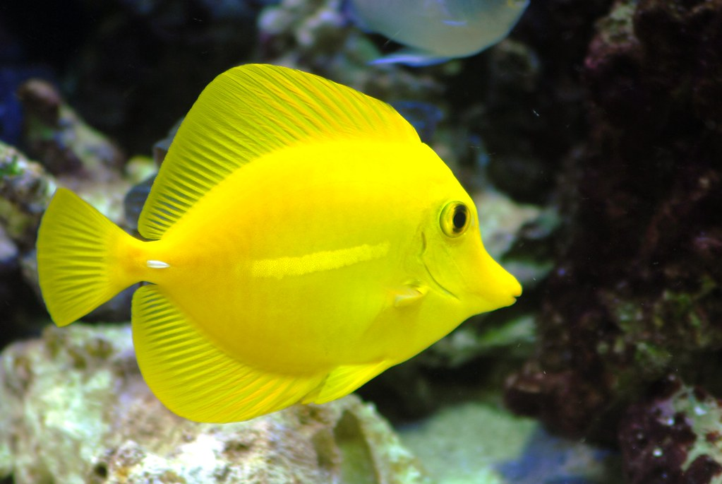 Yellow Tang for Sale