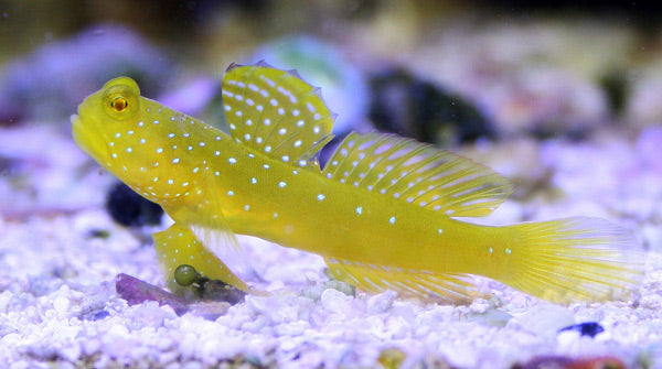 Yellow Watchman Goby for Sale