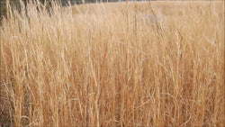 Manage fields and pastures for broom sedge