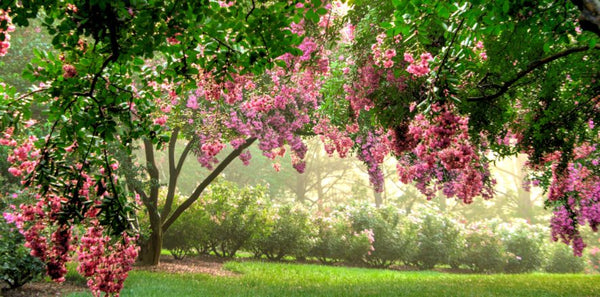Crape Myrtle Considerations