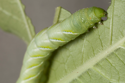 Caterpillars moving into lawns and pastures
