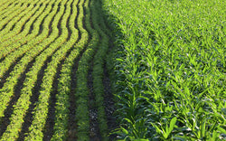Corn and soybean cover crops can provide fall forage for cattle