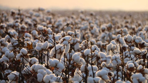 Arkansas cotton crop overcoming early season challenges