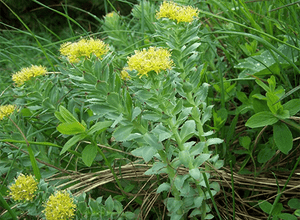 Rhodiola Rosea Benefits and Facts You Should Know