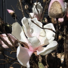 Load image into Gallery viewer, Tulip Magnolia Branch Faux Stem Henderson's