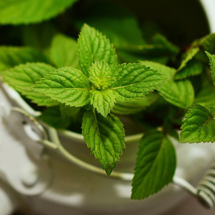 Why We Love Peppermint