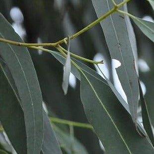 Eucalyptus Leaves Organic