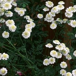 Feverfew Leaves Organic
