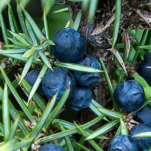 Juniper Berries Organic