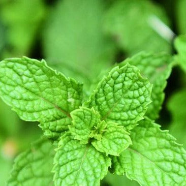 Organic Peppermint Leaf Dried Herb