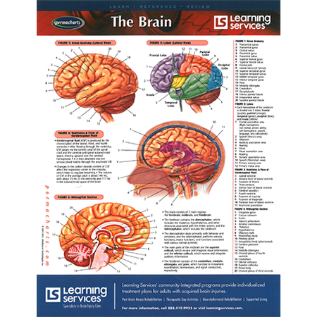 The Brain: Laminated Chart