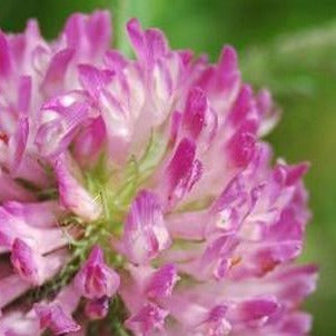 Red Clover Flowers Organic
