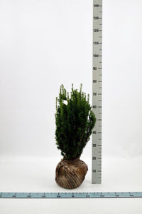 Hybridbarlind (Taxus Media Hillii) 50 - 60 cm