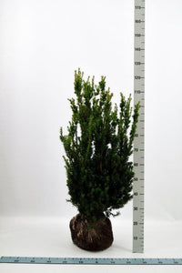 Hybridbarlind (Taxus Media Hillii) 80 - 100 cm Pottegrodde