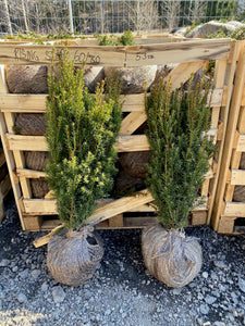 Hybridbarlind Rising Star (Taxus Media Rising Star) 60 - 80 cm