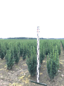 Hybridbarlind Rising Star (Taxus Media Rising Star) 50 - 60 cm