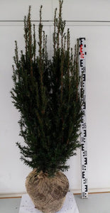 Hybridbarlind Rising Star (Taxus Media Rising Star) 80 - 100 cm