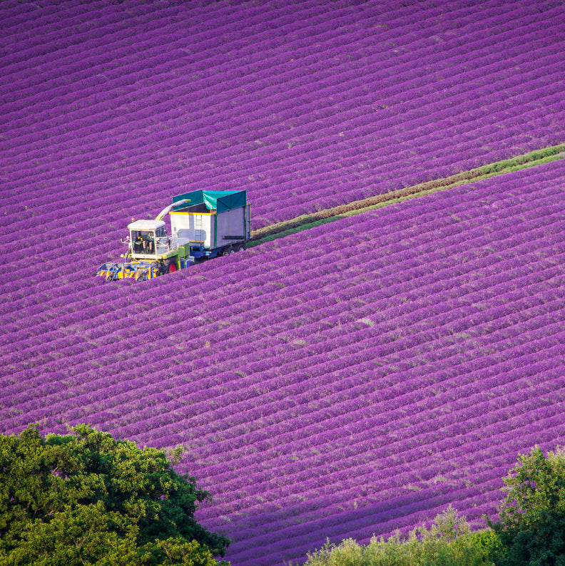 Castle Farm Lavender Harvest in action