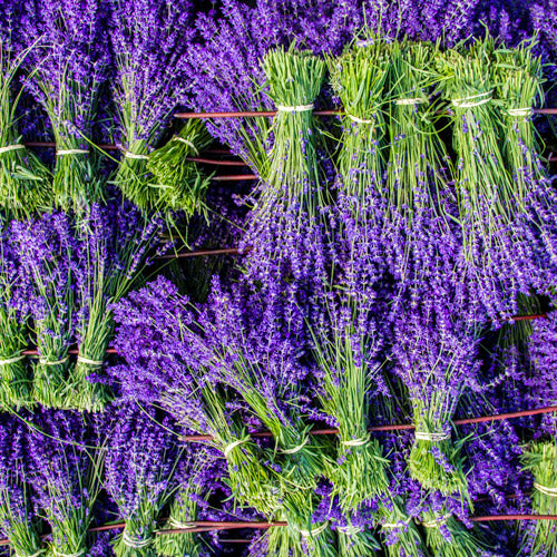 Fresh Lavender bunches from the Garden of England