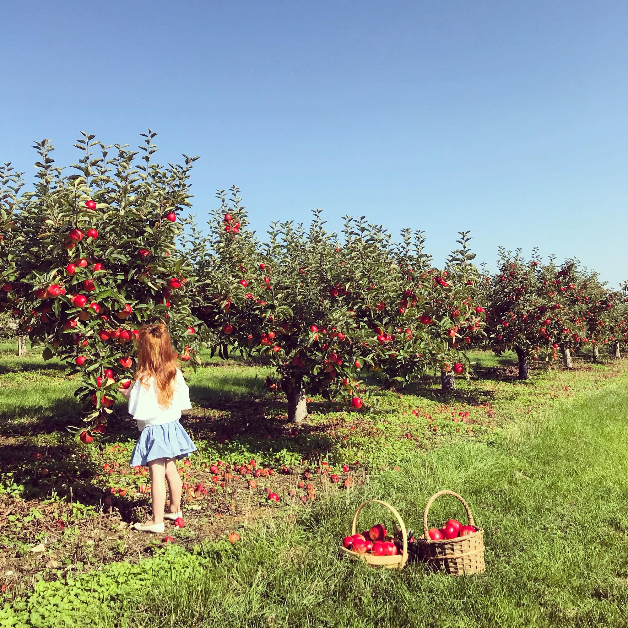 Castle Farm Apple Orchard - open for PYO