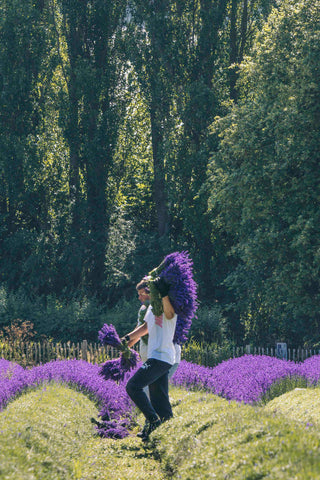 Cutting Lavender Bunches at Castle Farm