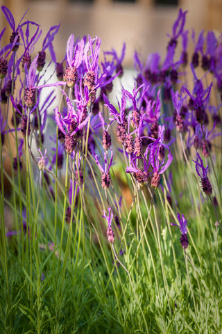 Butterfly Lavender for sale