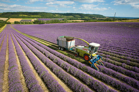 Lavender Harvesting at Castle Farm