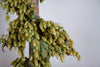 CASTLE FARM DRIED HOP BINE