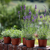 LAVENDER PLANTS FOR THE GARDEN