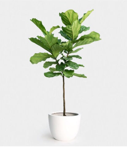 Fiddle Leaf Fig Potted Rental