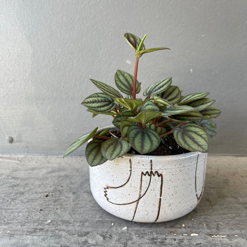 Peperomia Piccolo in Echeri Planter