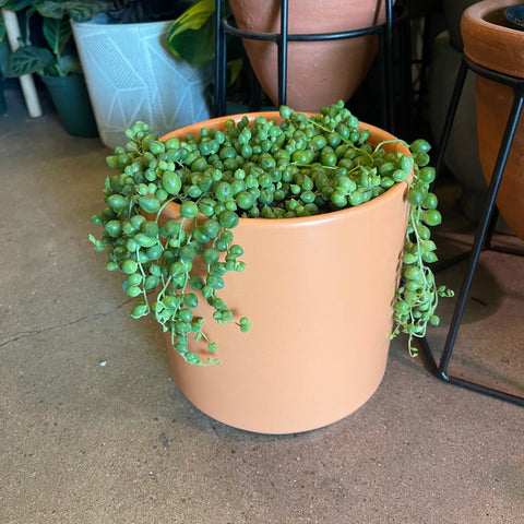 String of Pearls in Peach Planter