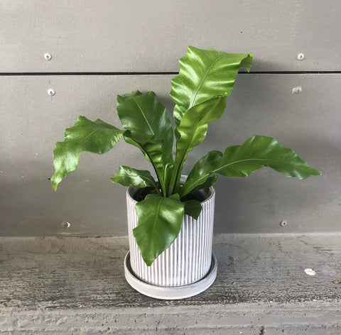 Ms. Curio Planter w/ Dish
