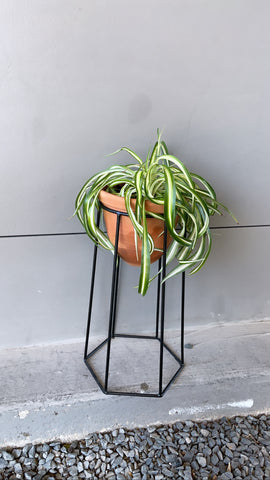 Spider Plant in Terra Bee Stand