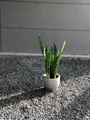 Snake Plant in Cement Planter