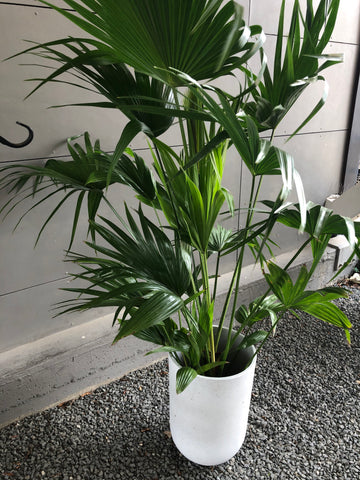 Fan Palm w/ Porter Planter