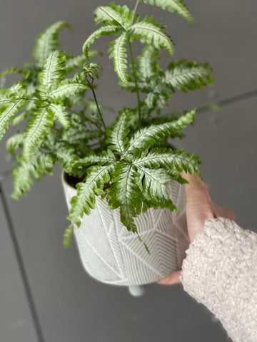 Pteris Snowflake Fern in Moss Planter