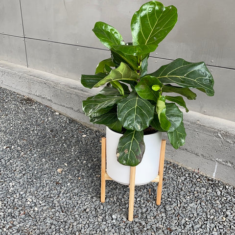 Fiddle Leaf Fig in Planter + Stand