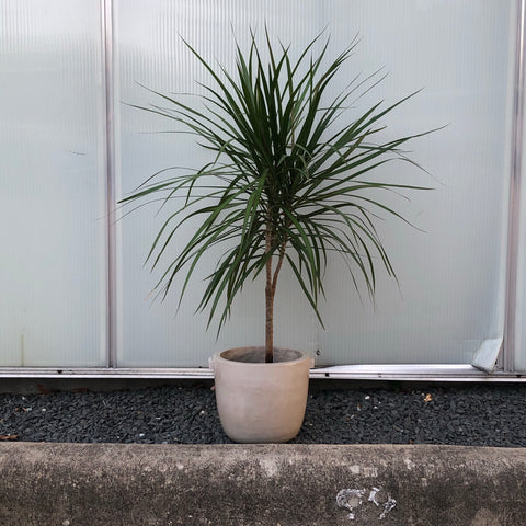 Dragon Tree in Mandel Planter