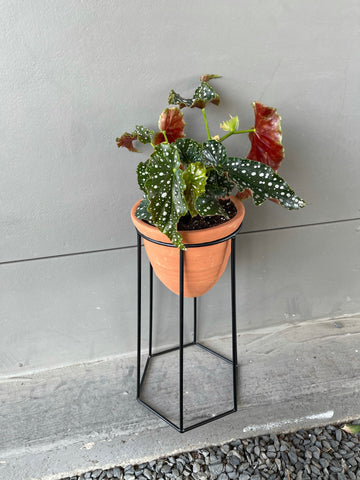 Dragon Wing Begonia in Terra Bee Stand