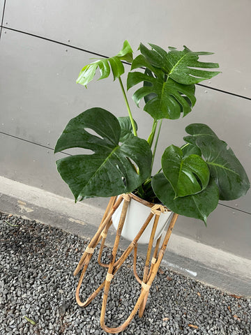 Monstera in Rattan Plant Stand