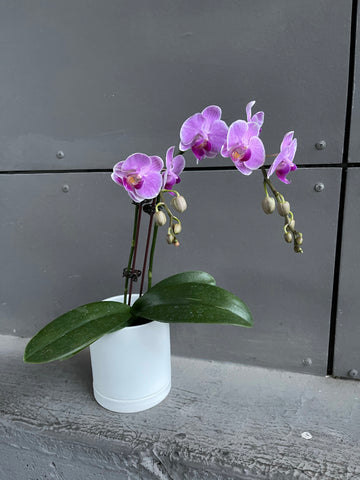 Fuscia Philandapsis Orchid in Lenor Planter