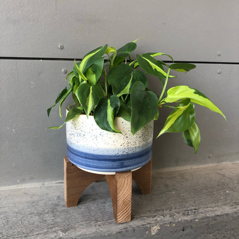 Blue Ombré Planter w/ Brazil Philo