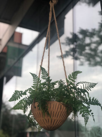 🐇 Rabbit Foot Fern in Hanging Terra Cotta