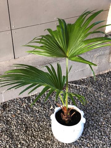 Fan Palm in Luisa Planter