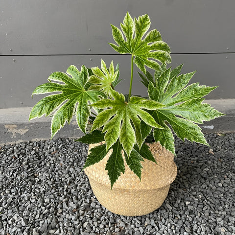 Fatsia Japonica Varigata in Sea Grass Basket