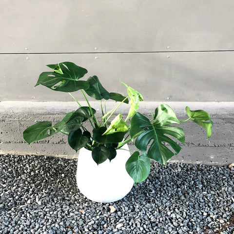 Monstera in Oolong Planter